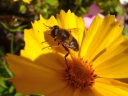 Bee on coreopsis. Photograph by Graham Soult