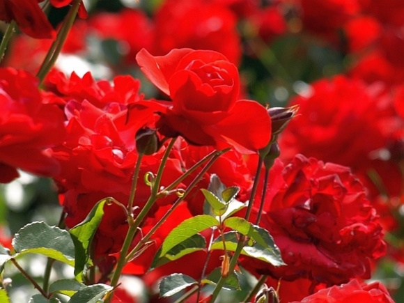 Red roses. Photograph by Mihai Ontanu