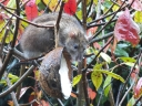 Rat on a bird feeder. Photograph by Graham Soult