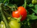 Tomato plant. Photograph by Graham Soult
