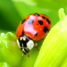 Vignette: Ladybird on plant. Photograph by kslyesmith